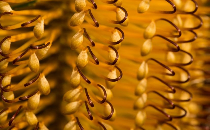 A Guide For Growing Banksia Flowers In Your Garden